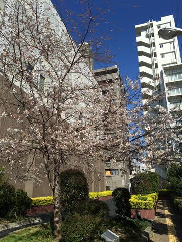 谷町六丁目の桜